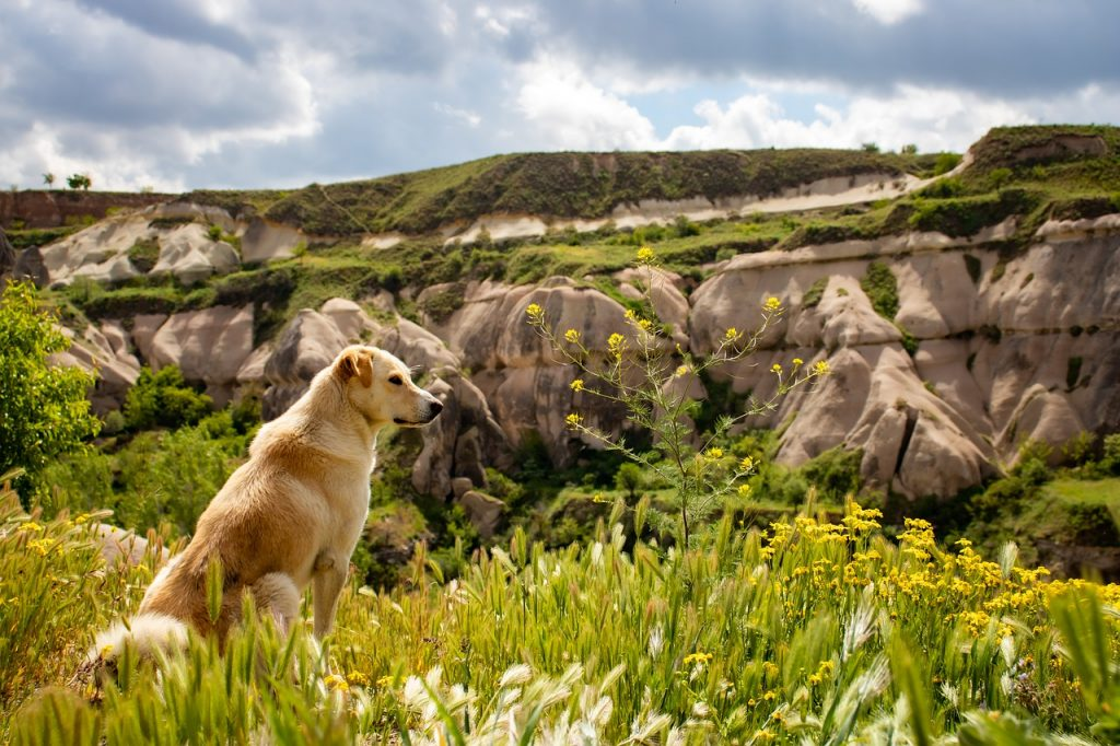 How far can a dog hike in a day